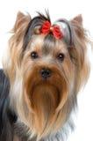 Yorkshire terrier in studio Stock Photos