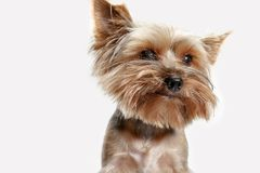 Yorkshire terrier isolated om white background Stock Photo