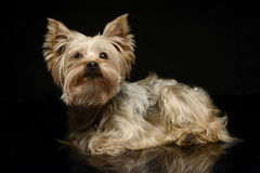 Yorkshire Terrier in a studio, dark background and shiny floor. Yorkshire Terrier with reflection in studio Stock Photo