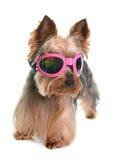 Yorkshire terrier in studio Stock Photo