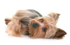 Yorkshire terrier in studio Stock Images