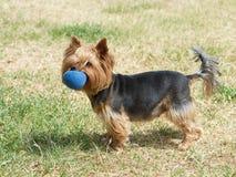 Yorkshire terrier sui precedenti dell'erba verde, cane sveglio che gioca nell'iarda, un piccolo Yorkshire terrier del cucciolo de Fotografie Stock