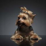 Yorkshire Terrier sur le fond gradué gris Photo libre de droits