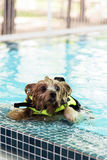 Yorkshire-Terrier swimming Royalty Free Stock Photography