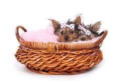 Yorkshire Terrier szczeniaki Ubierający up w menchiach Obrazy Stock