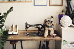 Yorkshire Terrier. On a table next to a sewing machine Stock Photo