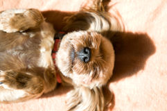Yorkshire terrier taking sunbath Royalty Free Stock Image
