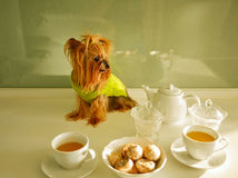 Yorkshire Terrier. Teatime Royalty Free Stock Image