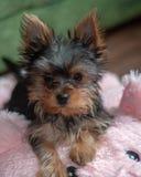 Yorkshire Terrier, Teetasse, Spaß-liebevoller Hund stockbilder