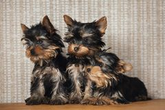3 Pretty Yorkie on miniature couch sofa on gold background royalty free stock image
