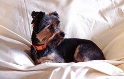 Yorkshire Terrier tillfällig stående i naturlig belysning Fotografering för Bildbyråer