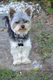 Yorkshire terrier Tommy immagine stock
