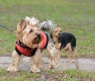 Yorkshire Terrier Toy Terrier Jake och Sonia royaltyfri fotografi