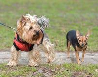 Yorkshire Terrier Toy Terrier Jake och Sonia royaltyfri bild