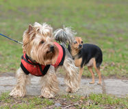 Yorkshire Terrier Toy Terrier Jake and Sonia. Royalty Free Stock Photography