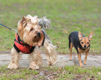Yorkshire Terrier Toy Terrier Jake and Sonia. Yorkshire Terrier Toy Terrier Jake and Sonia for a walk Royalty Free Stock Image