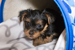 Yorkshire terrier in a  travel bag Royalty Free Stock Photography