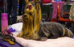 Yorkshire Terrier Trevlig hund för yorkshire terrier Arkivbilder