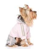 Yorkshire Terrier ubierający w tracksuit Odizolowywający na bielu plecy Obraz Stock