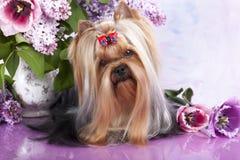 Yorkshire-Terrier und Blumen Lizenzfreie Stockfotos
