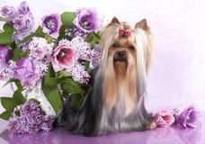 Yorkshire-Terrier und Blumen Lizenzfreies Stockbild
