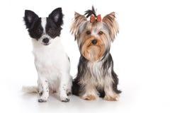 Yorkshire-Terrier und Chihuahua lizenzfreies stockfoto