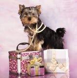 Yorkshire-Terrier und Geschenke lizenzfreies stockbild