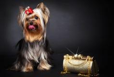 Yorkshire Terrier und Goldtasche Stockfoto