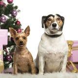 Yorkshire Terrier und Jack Russell Terrier, das vor Weihnachtsdekorationen sitzt stockfoto