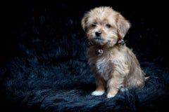 Yorkshire Terrier und maltesischer Mischzucht-Welpe Stockbild