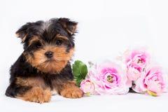 Yorkshire Terrier valp med en bukett av rosa blommor Royaltyfri Bild
