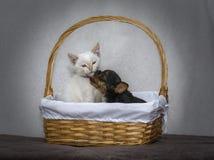 Yorkshire Terrier valp som kysser en vit kattunge i en grindkorg royaltyfria bilder