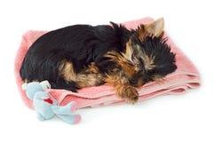 Yorkshire Terrier valp som sover på den rosa handduken Arkivbild