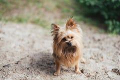 Yorkshire Terrier van Spitz in het park stock afbeelding