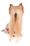 Yorkshire Terrier with very long hair Royalty Free Stock Photos