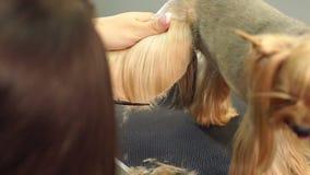 Yorkshire terrier veterinario di forbici dei tagli della clinica di medico del primo piano archivi video