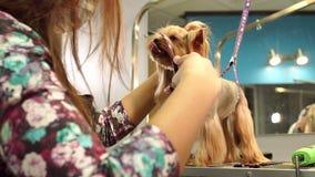 Yorkshire terrier veterinario di forbici dei tagli della clinica di medico del primo piano video d archivio