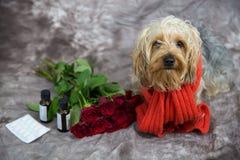 Yorkshire-Terrier wünscht eine schnelle Wiederaufnahme Lizenzfreies Stockfoto