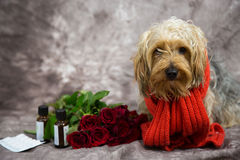 Yorkshire-Terrier wünscht eine schnelle Wiederaufnahme Stockbild