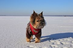 Yorkshire Terrier w jaskrawej zimie odziewa na lodzie na słonecznym dniu fotografia royalty free