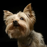Yorkshire Terrier waching something in the dark background. Yorkshire Terrier waching something in  dark background Royalty Free Stock Image