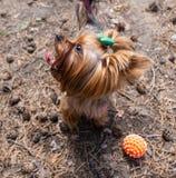 Yorkshire Terrier wacht op een nieuw stuk speelgoed, Rusland royalty-vrije stock afbeeldingen