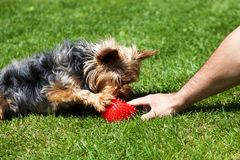 Yorkshire terrier waiting for a toy bone. Owner`s hand giving dog a toy. Small dog on green grass stock photography