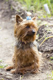 Yorkshire terrier on a walking. Cute yorkshire terrier walking near the house Royalty Free Stock Images