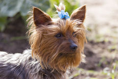 Yorkshire terrier on a walking Stock Photography
