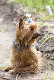 Yorkshire terrier on a walking Royalty Free Stock Images