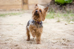 Yorkshire terrier walking near the house Stock Image