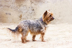 Yorkshire terrier walking near the house Stock Images