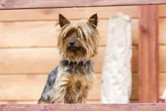 Yorkshire terrier walking near the house Royalty Free Stock Photo