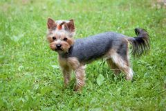 Yorkshire terrier walking in summer park royalty free stock images
